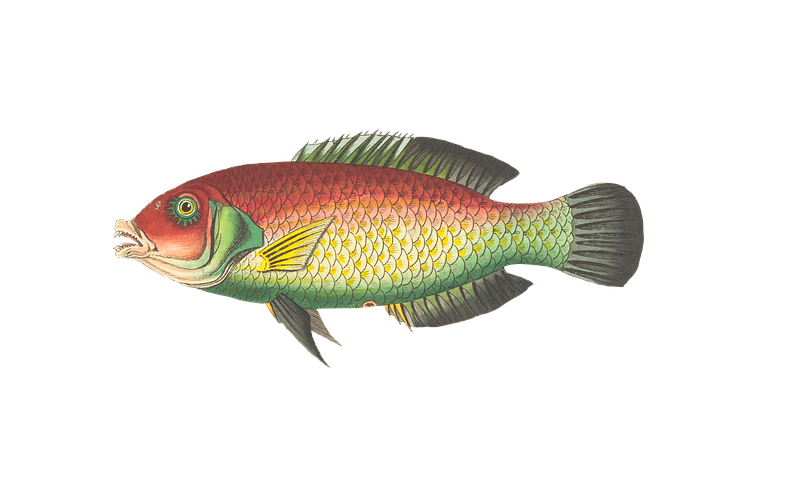Bluegill fish clipart clip art download Fishing Stickers - 2018 by Sid Y clip art download