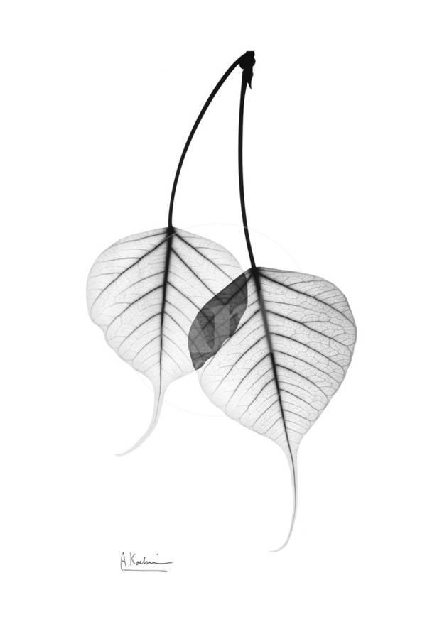Bodhi day black and white clipart banner freeuse library Bodhi Tree Leaves in Black and White Art Print by Albert Koetsier | Art.com banner freeuse library