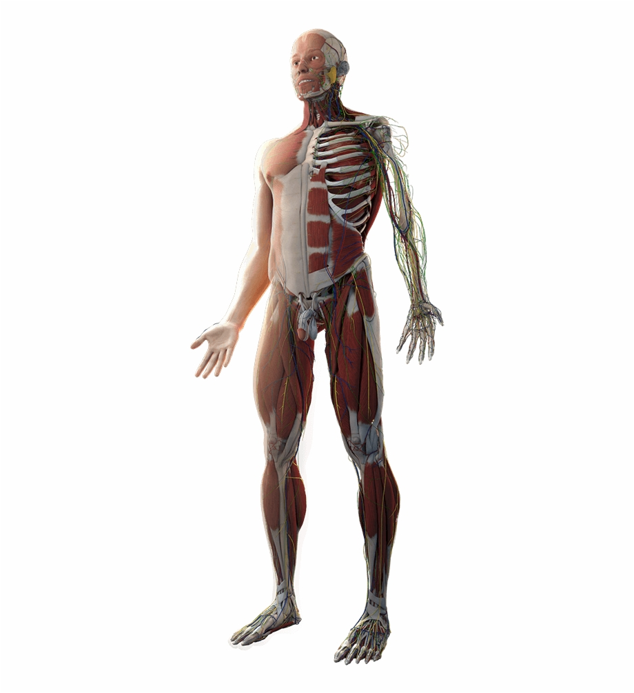 Body anatomy clipart vector library Body - Transparent Human Anatomy Png Free PNG Images & Clipart ... vector library