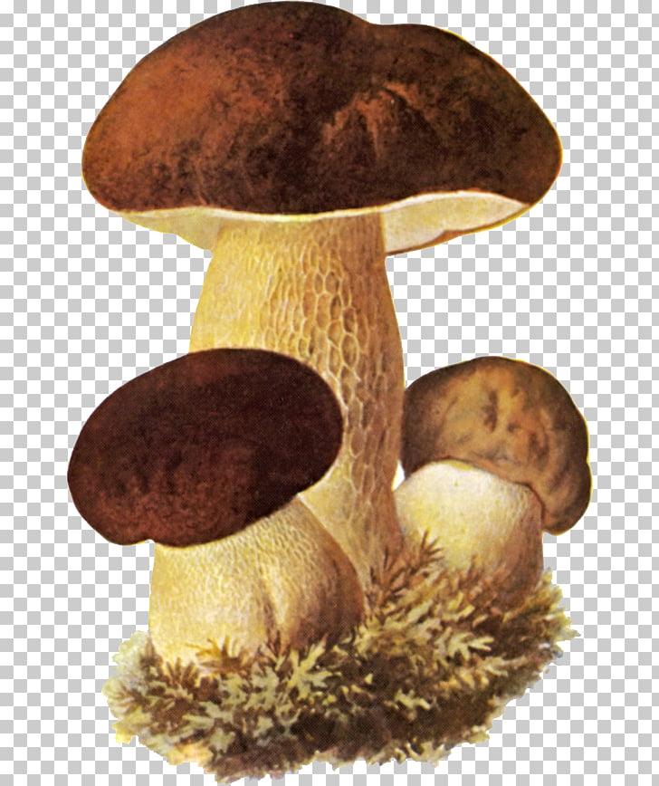 Boletus clipart image library Boletus edulis Edible mushroom Fungus Birch bolete, mushroom PNG ... image library