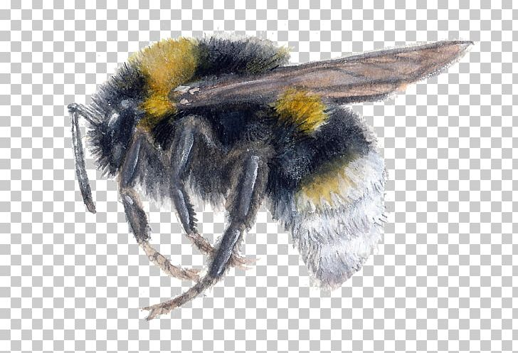 Bombus impatiens clipart graphic stock Bumblebee Insect Bombus Vestalis Honey Bee PNG, Clipart, Animal ... graphic stock
