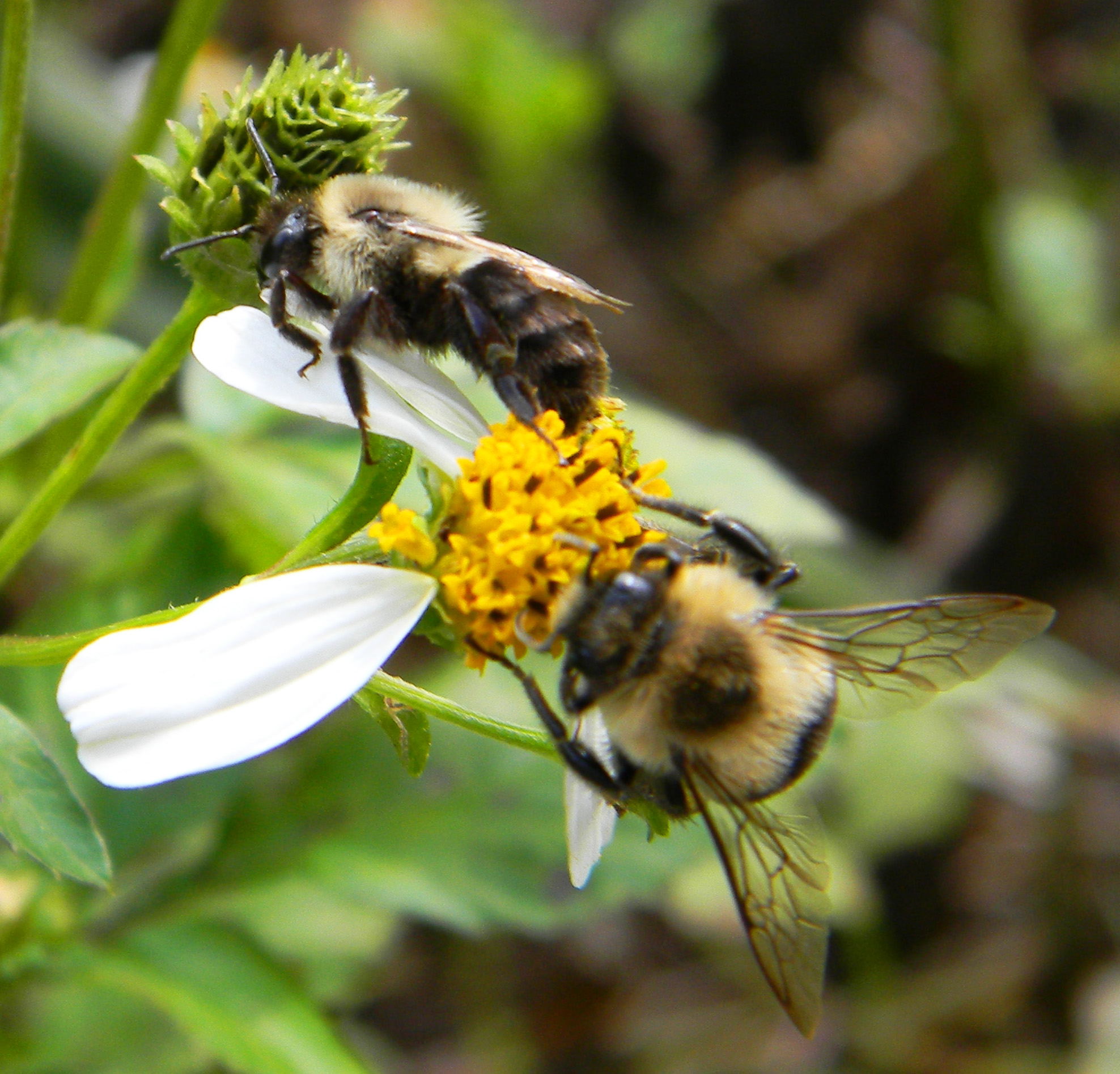 Bombus impatiens clipart picture transparent library The Bumble Bee – One of Florida\'s Vital Pollinators | Panhandle ... picture transparent library