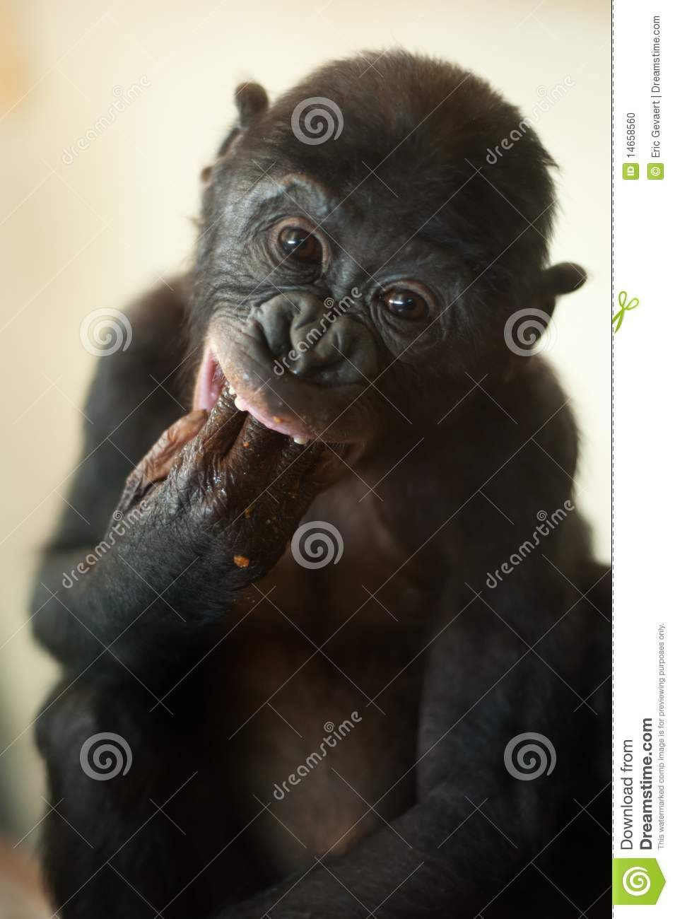 Bonobos clipart royalty free Pin by Rebecca Hanson on MONKEYS AND APES | Monkey, Animals, Cute ... royalty free
