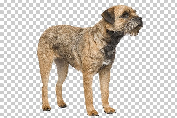 Border terrier christmas clipart picture stock Border Terrier Dutch Smoushond Cairn Terrier Dog Breed Border Collie ... picture stock
