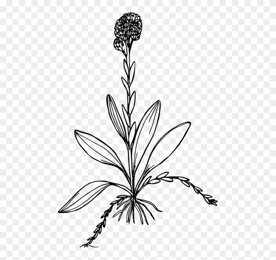 Bosa clipart image download Antennaria Corymbosa Computer Icons Drawing Plants - Antennaria ... image download