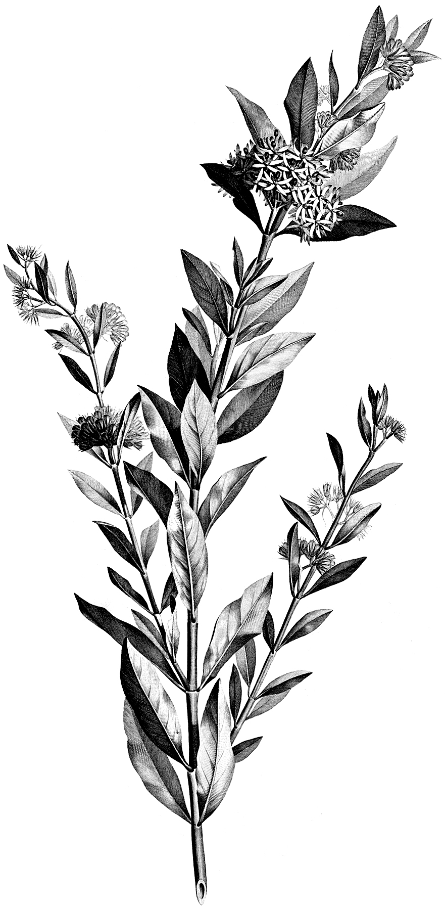 Black and white victorian clipart png black and white download Vintage Black and White Floral Stem Botanical Clip Art! - The ... png black and white download