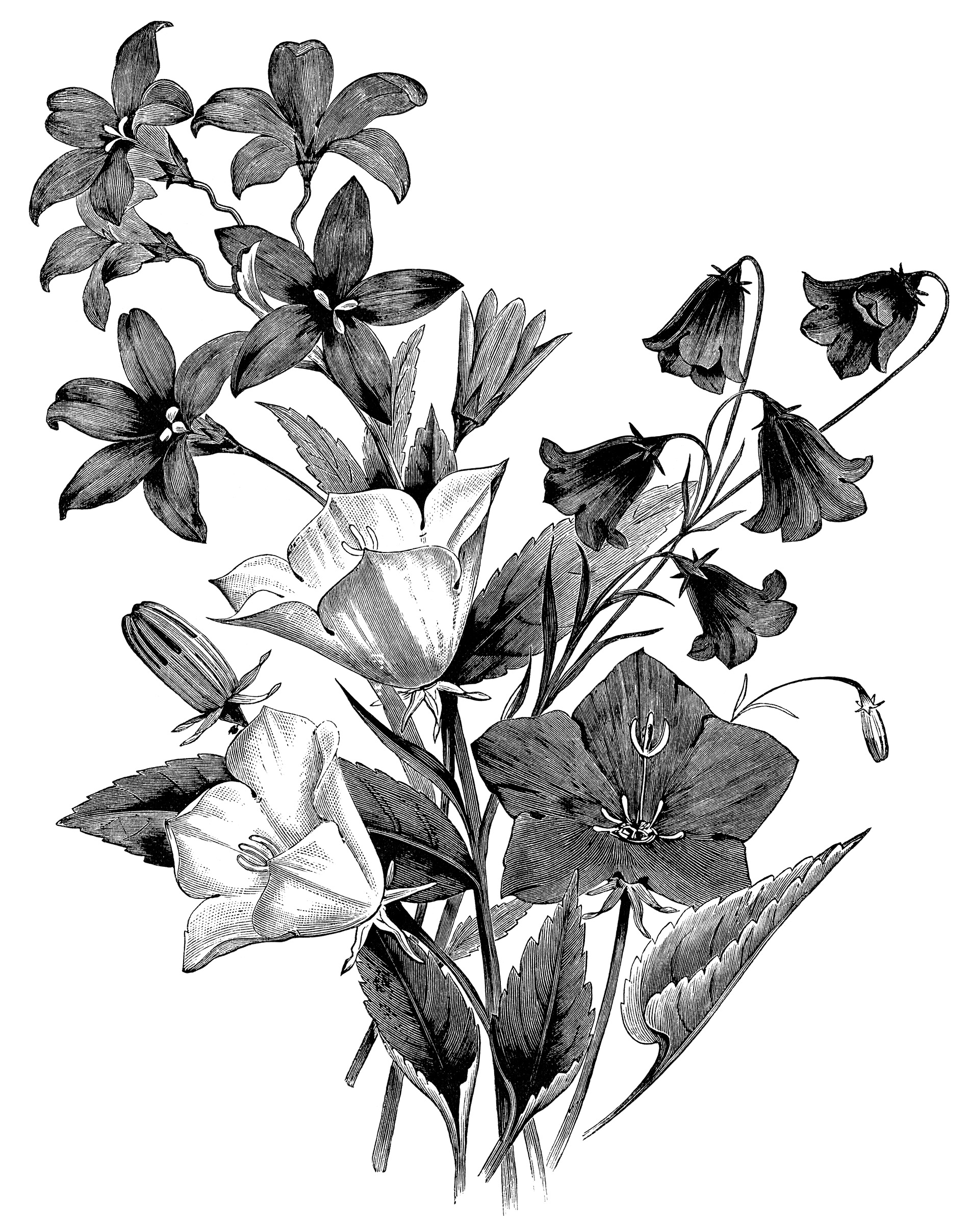 Botanical clipart black white clip freeuse library Group of Bellflowers ~ Free Vintage Clip Art - Old Design Shop Blog clip freeuse library