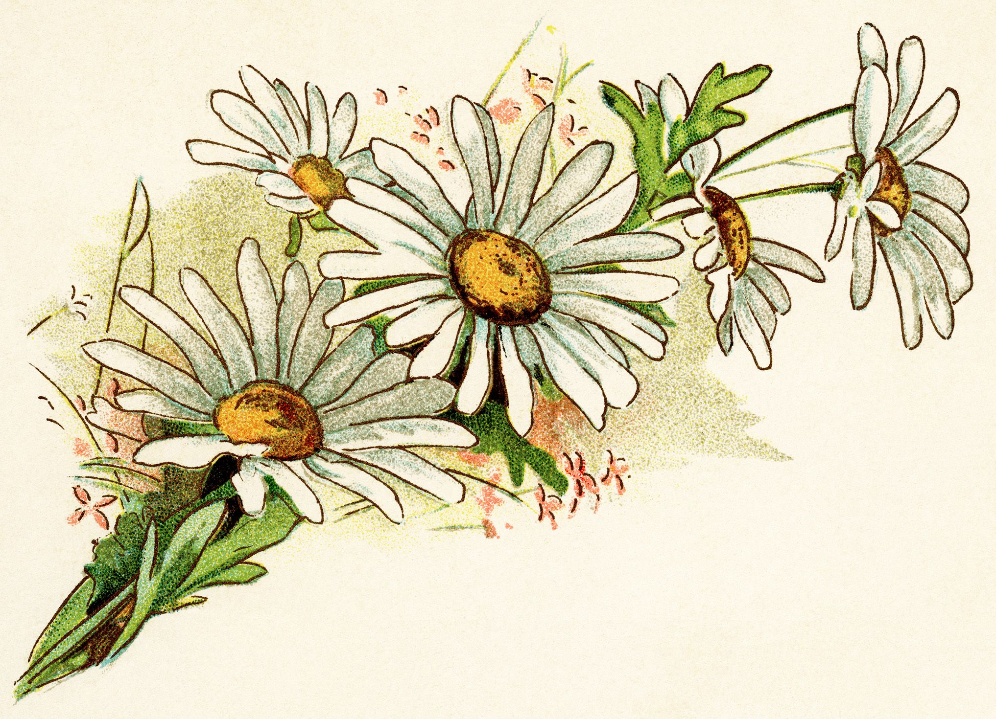 Bouquet of daisies clipart