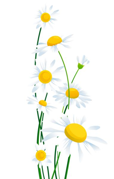 White daisy clipart transparent background jpg royalty free stock Free Daisies Transparent, Download Free Clip Art, Free Clip Art on ... jpg royalty free stock