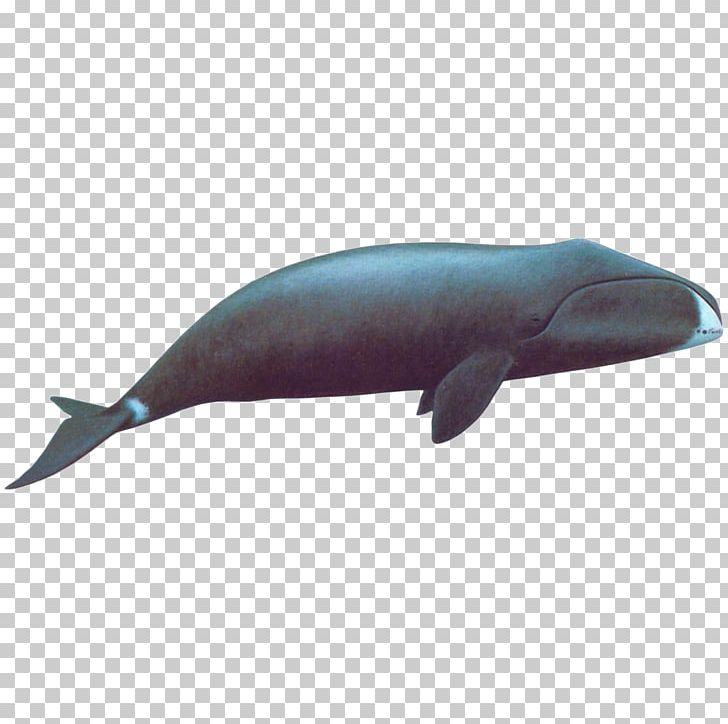 Bowhead clipart graphic royalty free Sperm Whale Bowhead Whale Whale Conservation Right Whales Arctic PNG ... graphic royalty free