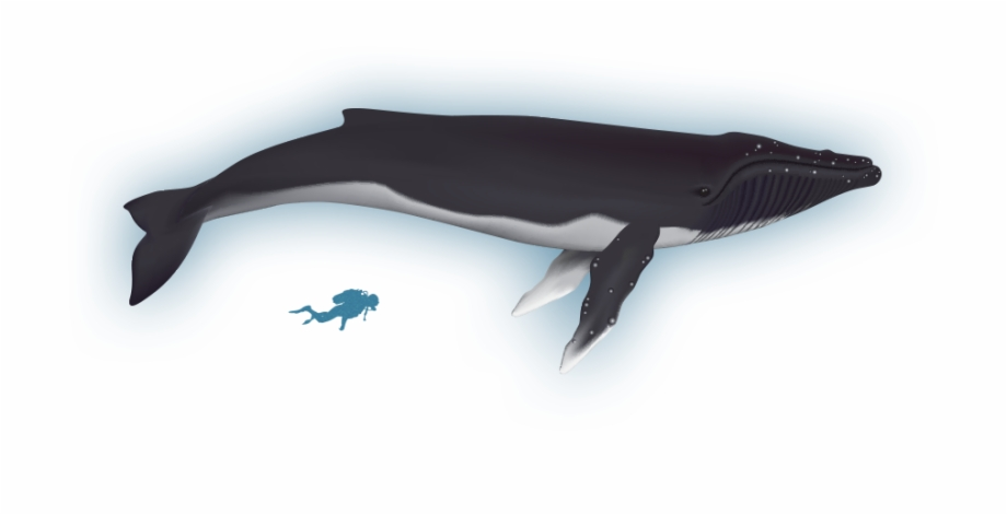 Bowhead clipart svg download Humpback Whale Clipart Bowhead Whale - Blue Whale, HD Png Download ... svg download