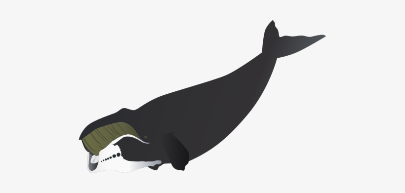 Bowhead clipart picture freeuse download Bowhead Whale Drawing - Bowhead Whale - Free Transparent PNG ... picture freeuse download