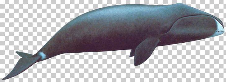 Bowhead clipart image transparent stock Eubalaena Sperm Whale Rorqual Arctic Bowhead Whale PNG, Clipart ... image transparent stock