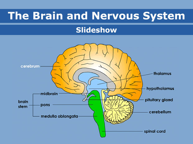Brain as sponge clipart svg Your Brain & Nervous System (for Kids) - KidsHealth svg