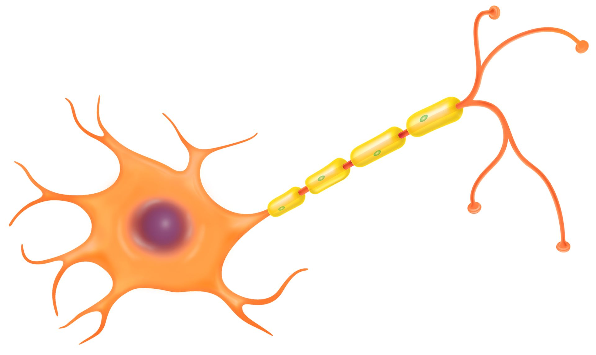 Brain cell clipart svg freeuse library Nerve Cell Function | Nerve Cell Diagram | DK Find Out svg freeuse library