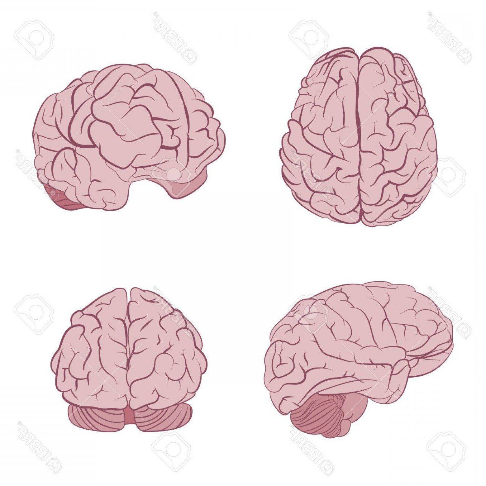 Brain front view clipart png library library Brains Front View Icon Vector | HandandBeak png library library
