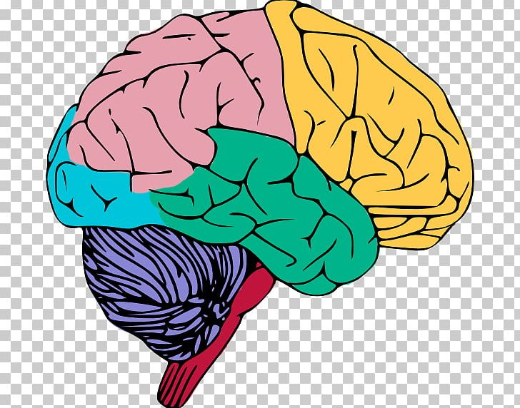 Brain images free clipart clip transparent stock Human Brain Free Content Public Domain PNG, Clipart, Blog, Brain ... clip transparent stock