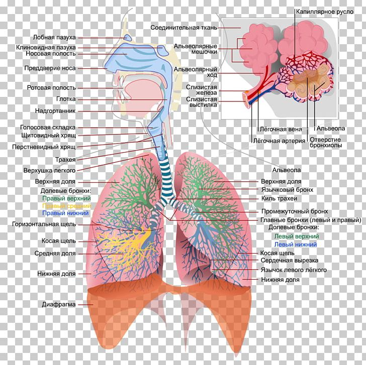 Breathing lungs clipart image free Respiratory System Respiratory Tract Respiration Lung Human Body PNG ... image free