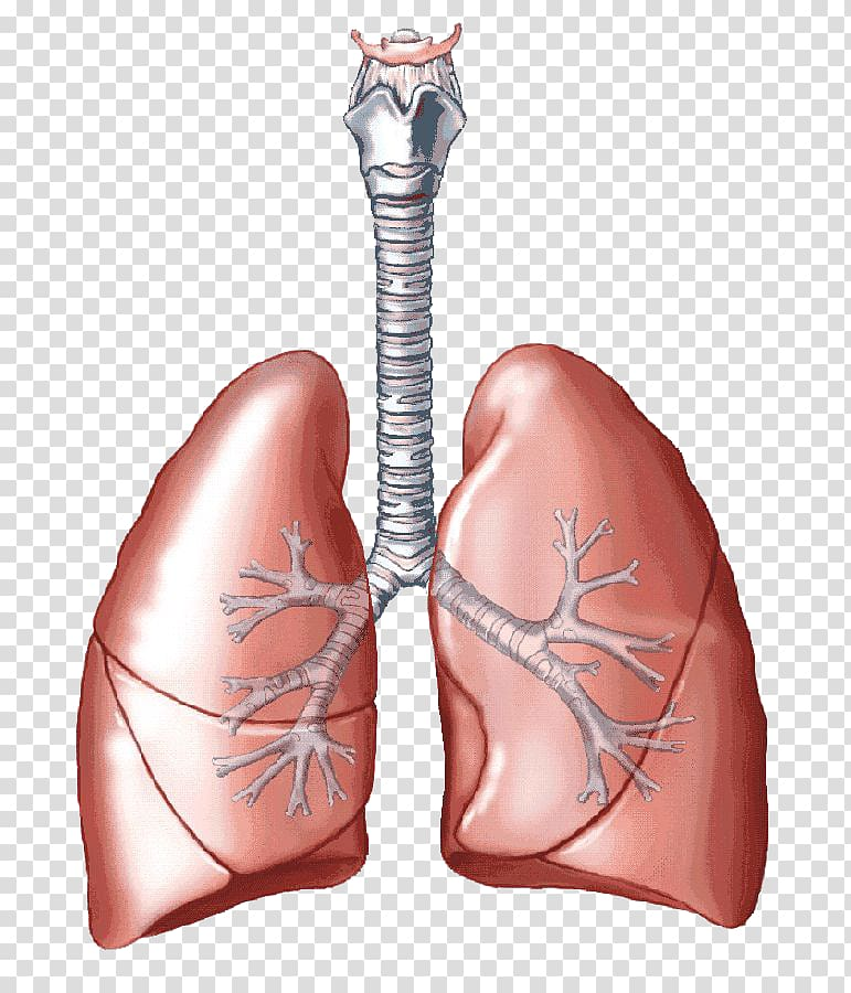 Breathing lungs clipart freeuse library Lungs illustration, Lung Carbon dioxide Breathing Respiratory system ... freeuse library
