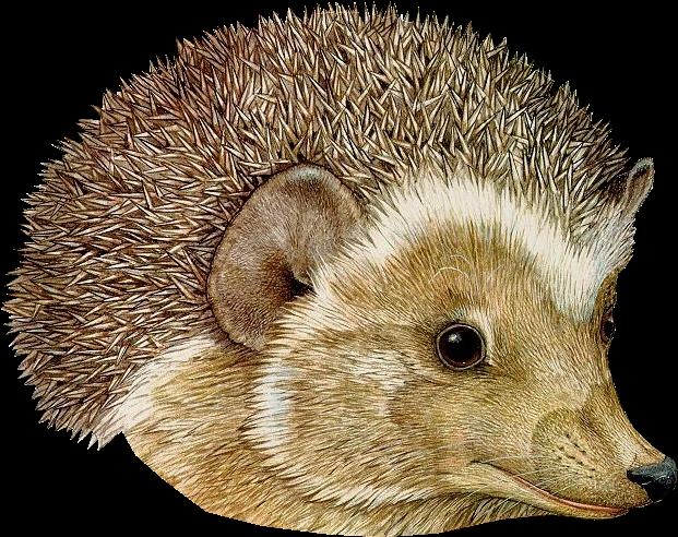 Brett clipart vector library download HD Download Hedgehog Png Transparent Images Transparent - Hat Jan ... vector library download