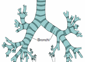 Bronchi clipart picture royalty free download Bronchi clipart » Clipart Station picture royalty free download