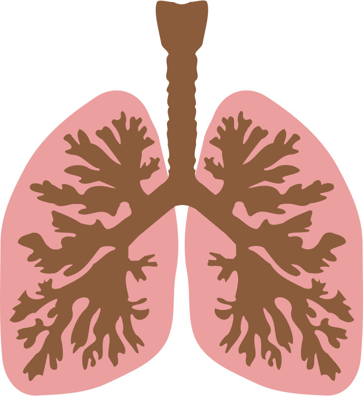 Bronchi clipart jpg transparent library Free Clipart: Lungs and bronchus | laobc jpg transparent library