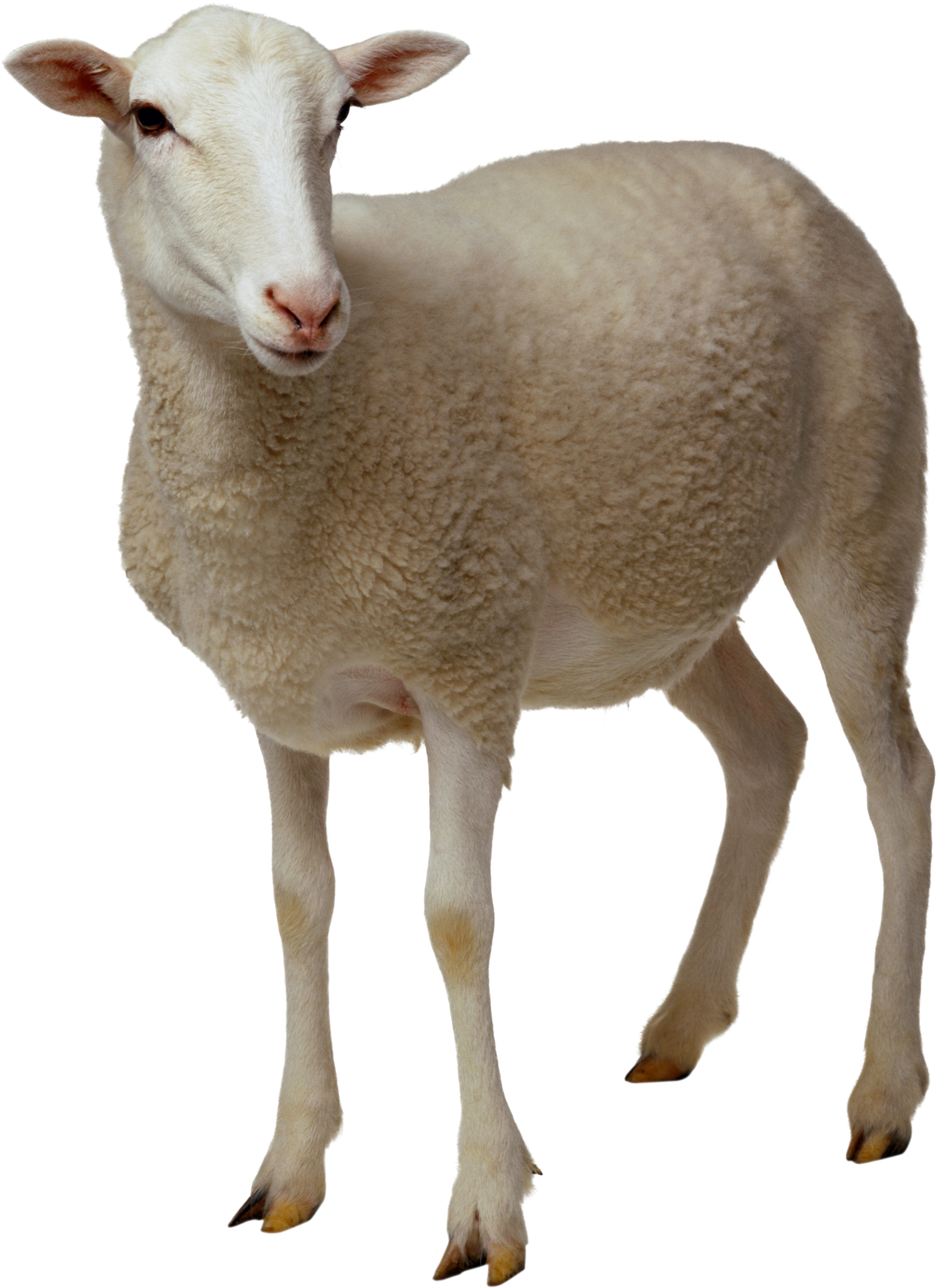 Brown cross with lamb in front clipart clipart freeuse lamb anatomy - Google Search | All about Lambs | Pinterest | Lambs ... clipart freeuse