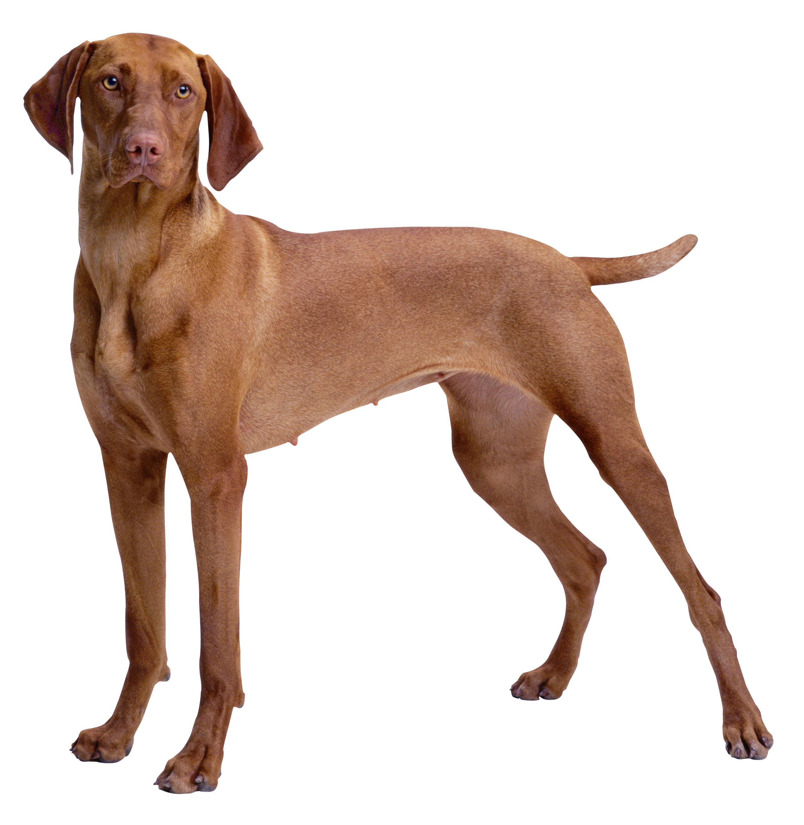 Png dog clipart royalty free stock Brown Dog PNG Clipart - Best WEB Clipart royalty free stock