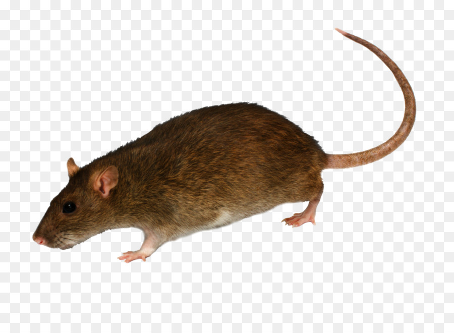 Brown rat clipart royalty free library Mouse Cartoon clipart - Mouse, Rat, transparent clip art royalty free library