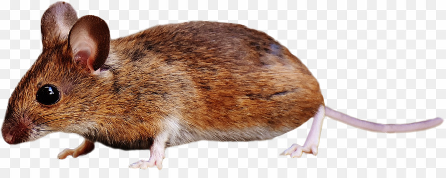 Brown rat clipart banner library library Brown Mouse PNG Rodent Brown Rat Clipart download - 2902 * 1113 ... banner library library
