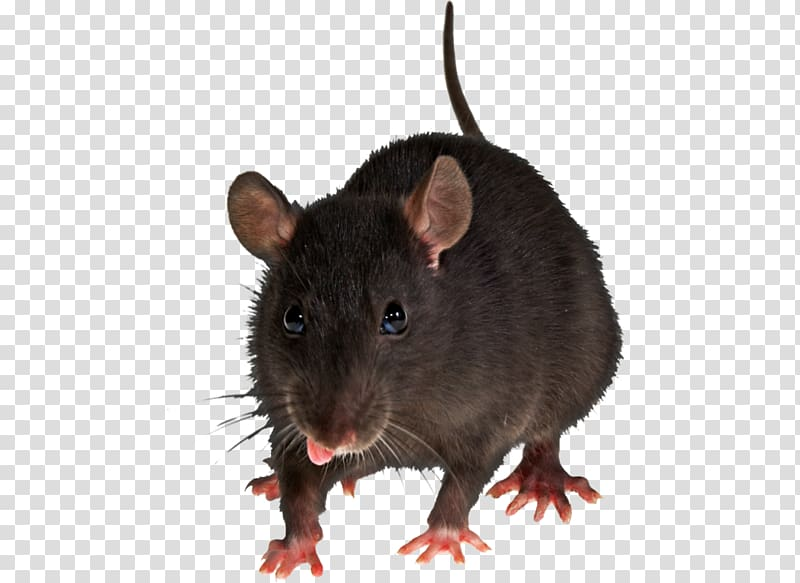 Brown rat clipart banner library Brown rat Rodent Black rat Pest control House mouse, mouse, rat ... banner library
