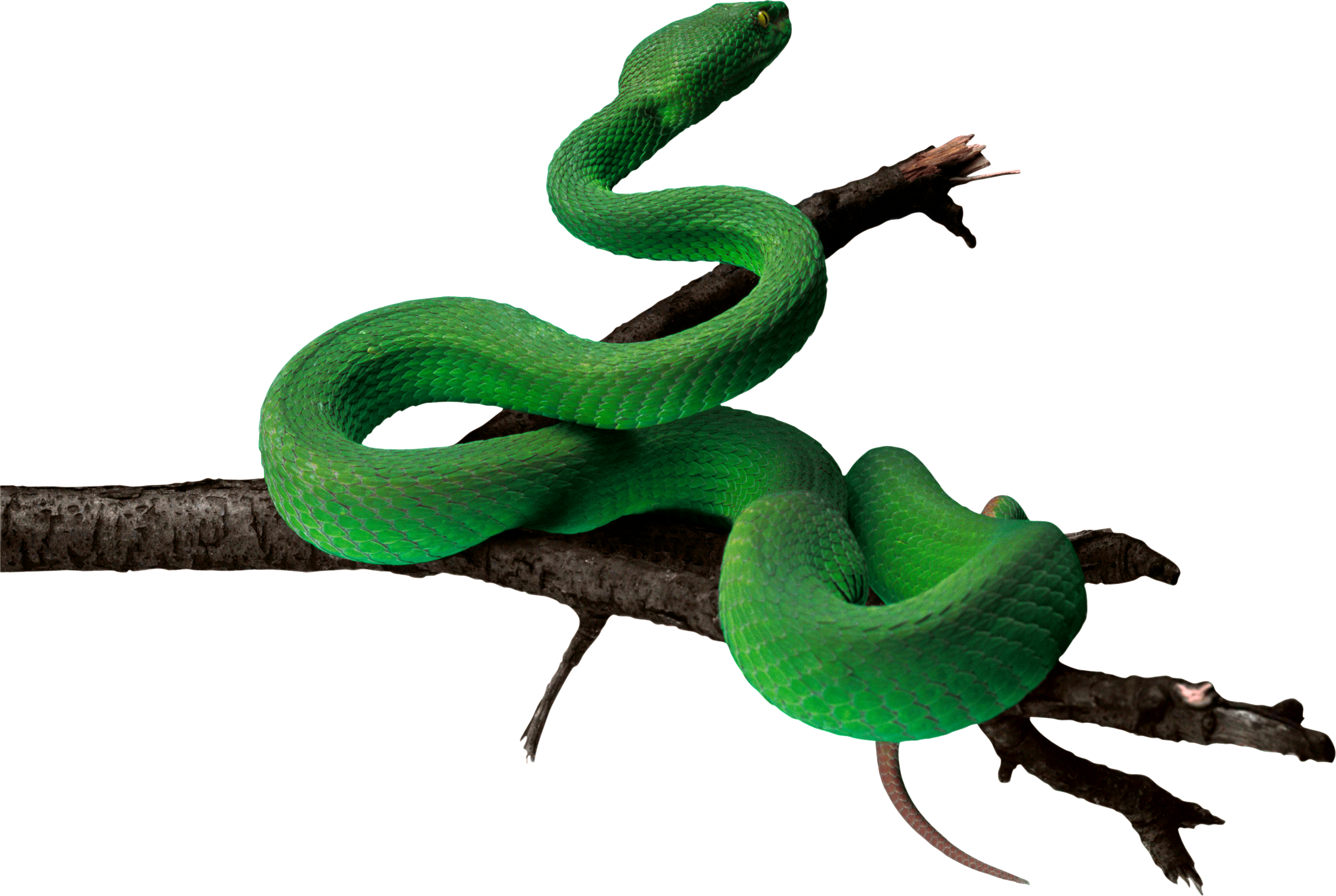 Brown tree snake clipart png black and white stock Green snake PNG | Animal PNG | Pinterest png black and white stock