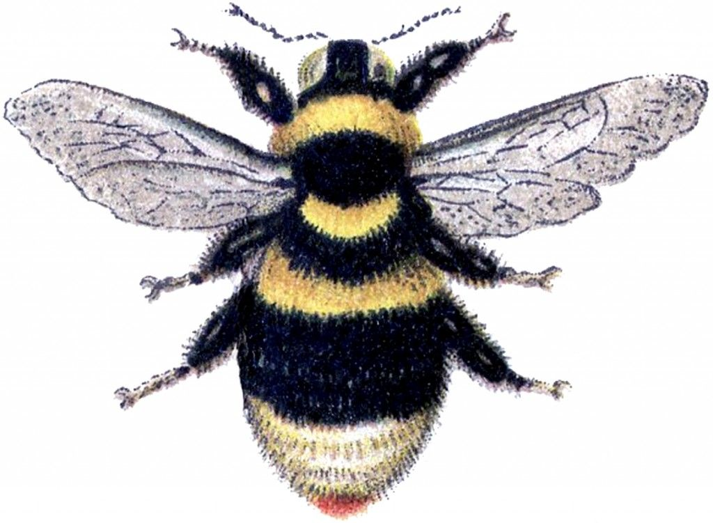 Bumble bee graphics clipart jpg library library Marvelous Bumblebee Clip Art Image! - The Graphics Fairy | Bees ... jpg library library