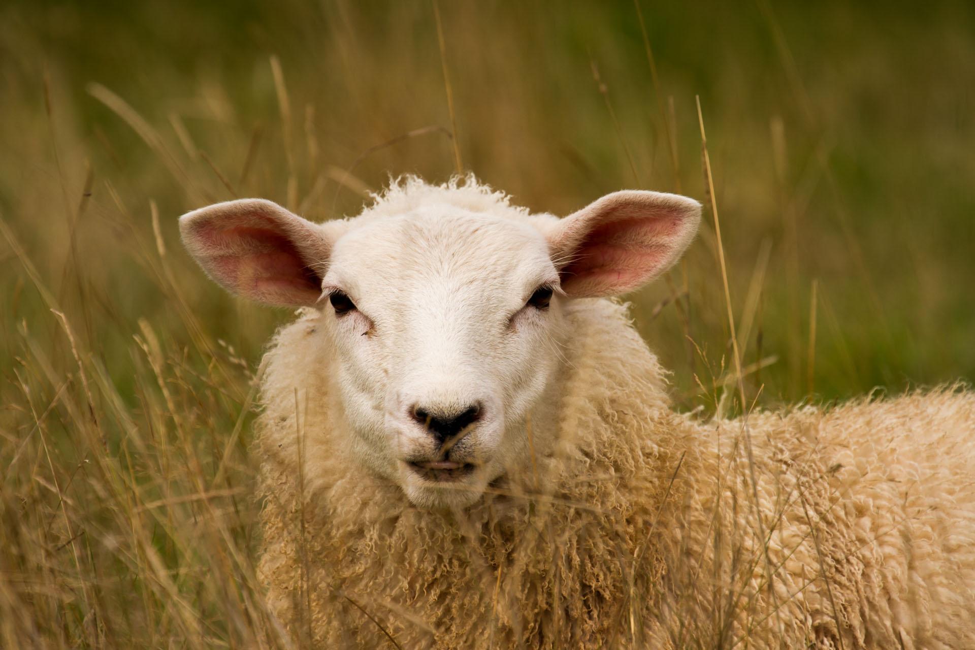 Butchered lamb clipart vector transparent Free Lamb Clipart wales, Download Free Clip Art on Owips.com vector transparent