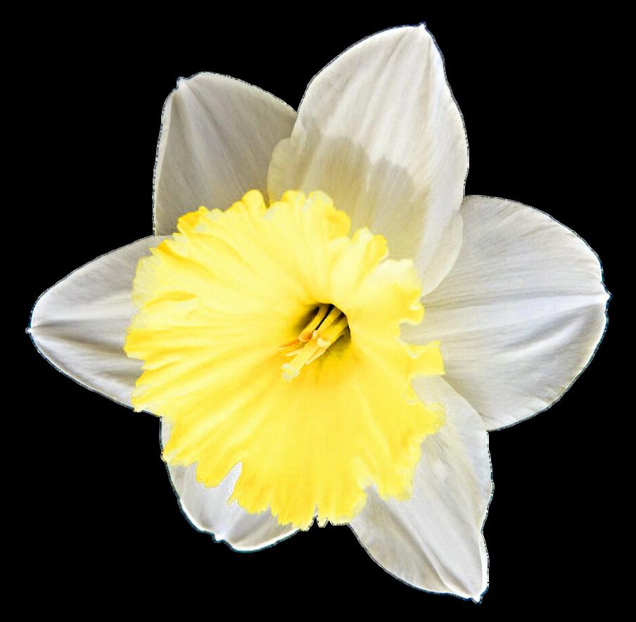 Buttercup flower clipart svg free stock Buttercup Daffodil by jeanicebartzen27 on DeviantArt svg free stock