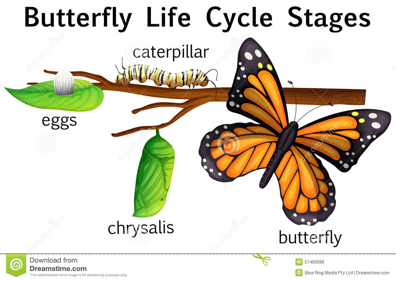 Stages stock vector image. Butterfly life cycle clipart