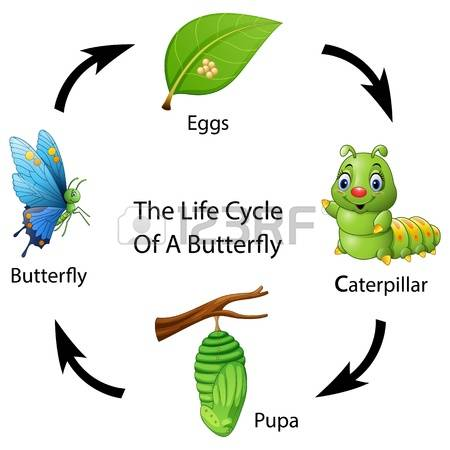 cliparts stock vector. Butterfly life cycle clipart