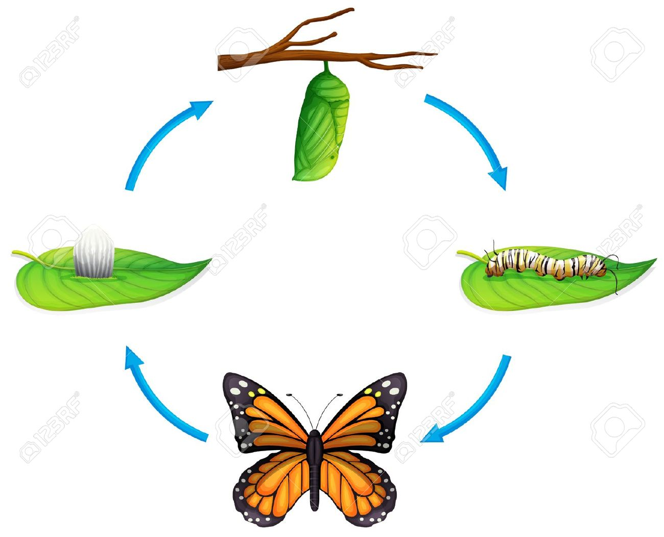 Butterfly life cycle clipart svg freeuse library 90 Butterfly Life Cycle Cliparts, Stock Vector And Royalty Free ... svg freeuse library