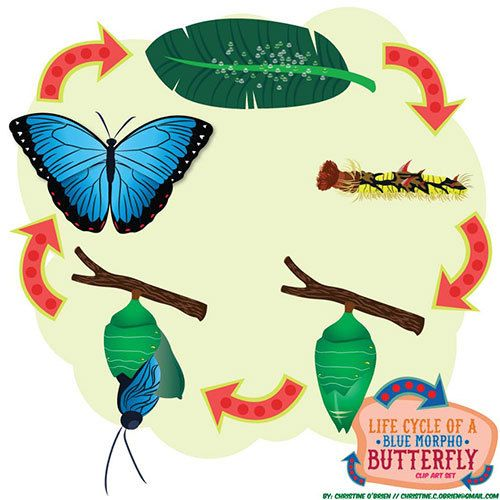 Butterfly life cycle clipart image royalty free download Life Cycle of a Blue Morpho Butterfly Clip by ChristineOCreative ... image royalty free download