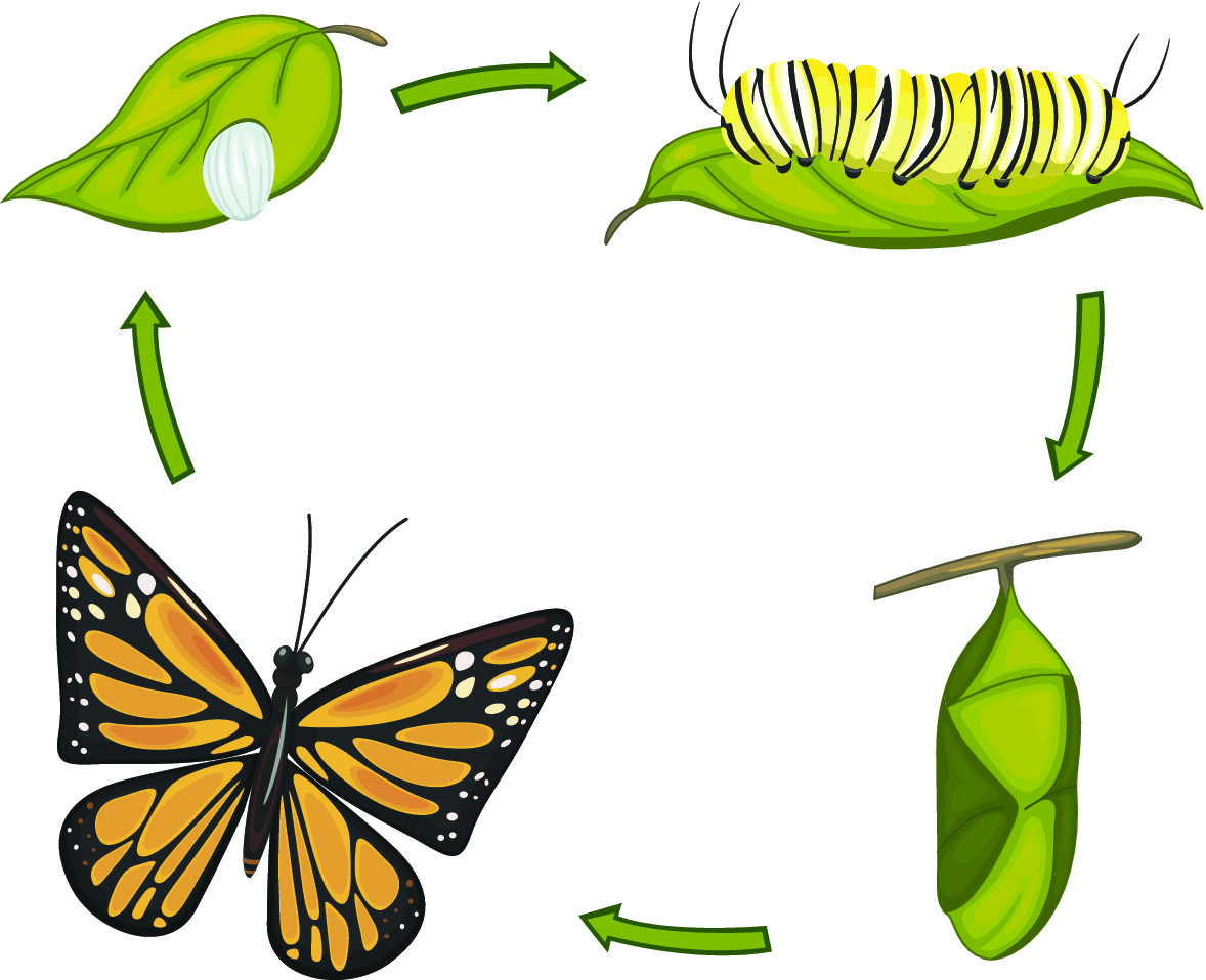 Butterfly life cycle clipart black and white stock Sources - Butterfly life cycle black and white stock