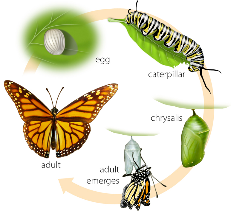 Butterfly life cycle clipart svg freeuse stock 17 Best images about butterfly life cycle for preschoolers on ... svg freeuse stock