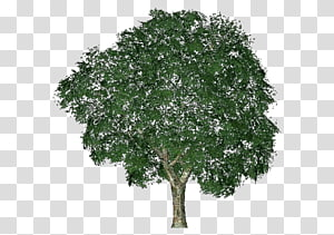 Butternut tree clipart jpg free library Askur Ulmus minor Tree Twig Plant, tree transparent background PNG ... jpg free library