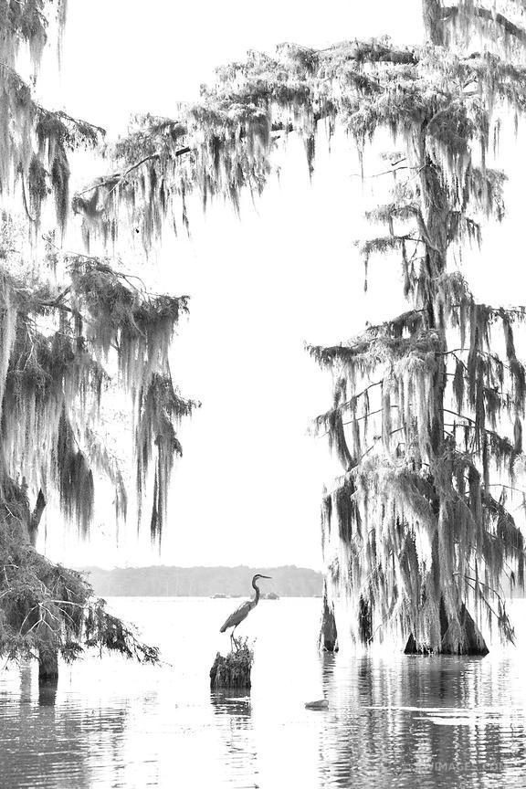 B&w clipart bayou cypress tree vector transparent download 25+ Cypress Trees In Landscape Drawings Pictures and Ideas on Pro ... vector transparent download