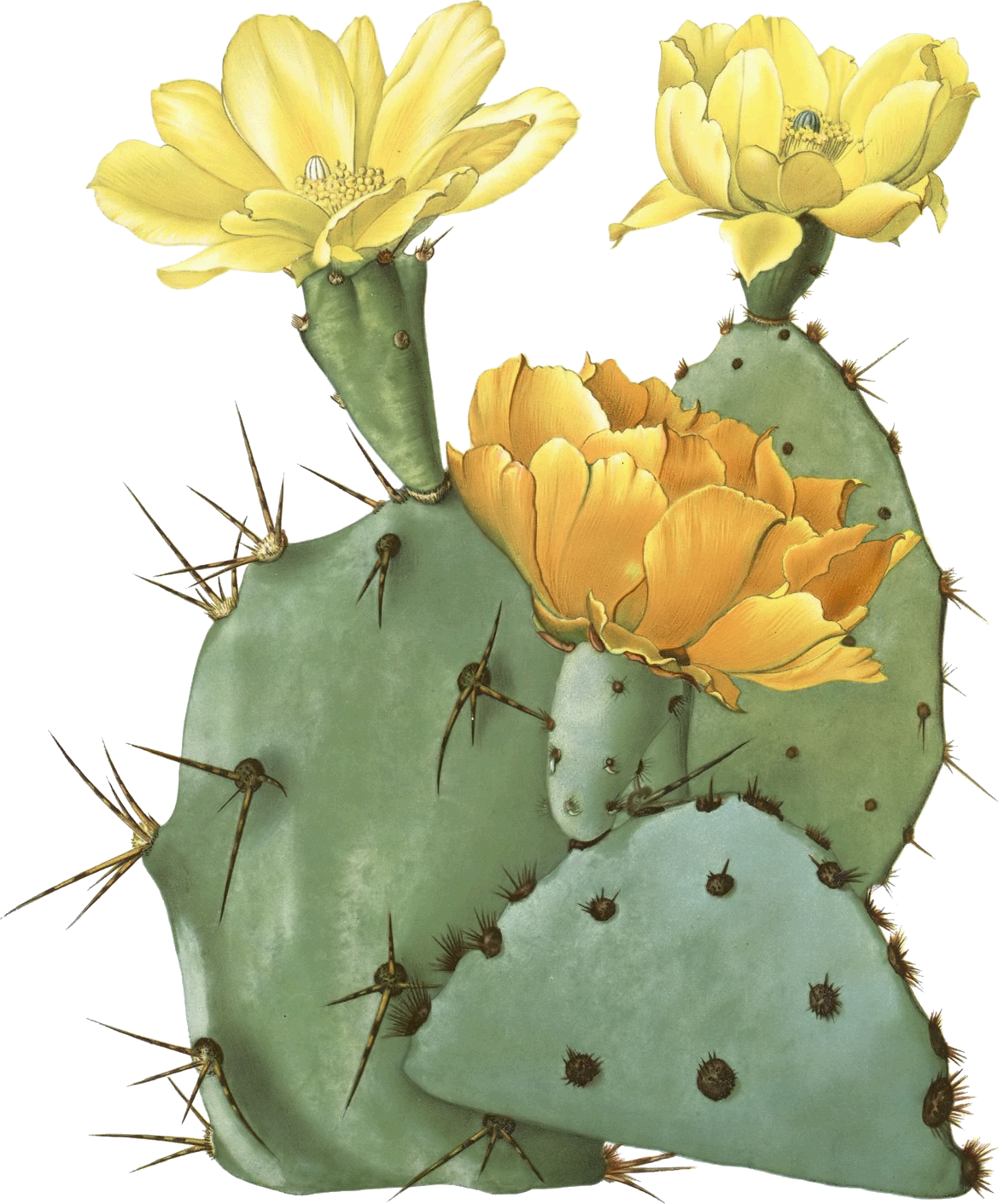 Cactus flower clipart image download Opuntia laevis (Spineless Prickly Pear, Tulip Pricklypear) | tattoos ... image download