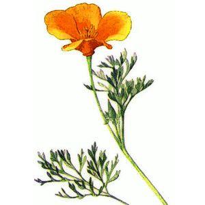 California poppy clipart free svg library California Poppies Clip Art   Design   Poppy clips, California poppy ... svg library