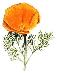 California poppy clipart free banner free download California Poppy Clipart   Free Images at Clker.com - vector clip ... banner free download