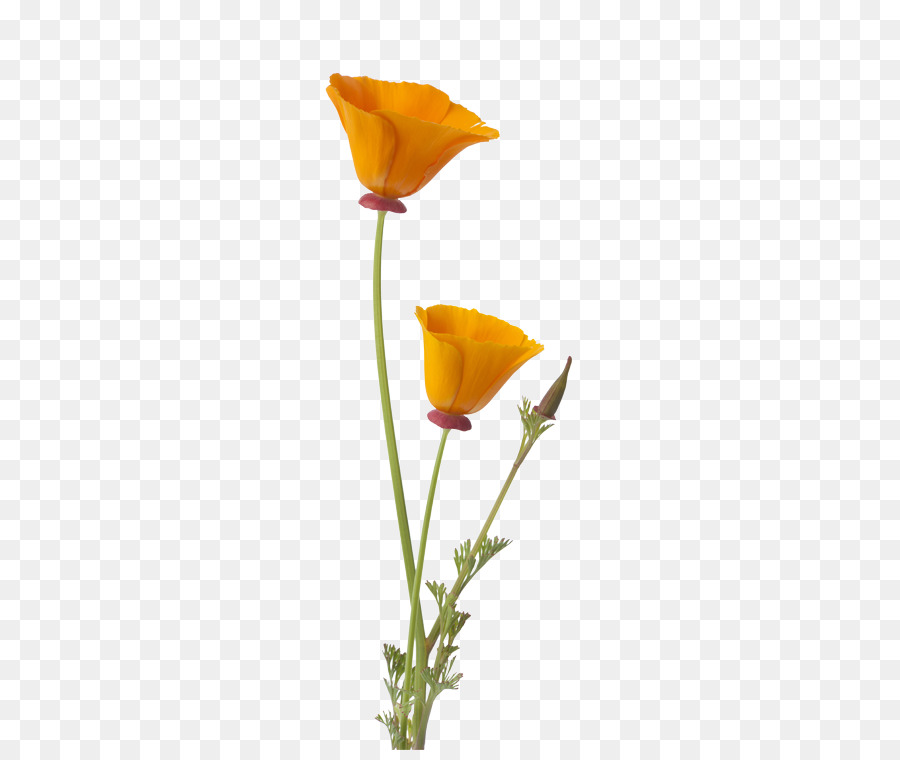 California poppy clipart free png royalty free download California Poppy Png & Free California Poppy.png Transparent Images ... png royalty free download