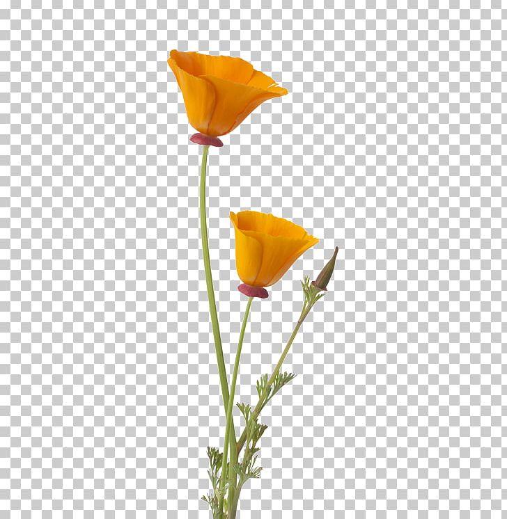California poppy flower clipart banner download California Poppy Flower Bud PNG, Clipart, Bud, California, Common ... banner download