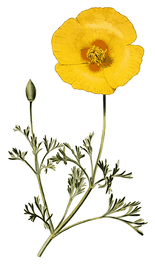 California poppy flower clipart png royalty free Flowers Clipart Background clipart - Poppy, Flower, Yellow ... png royalty free