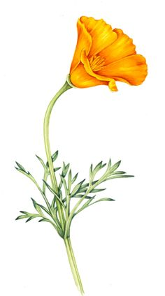 California state flower clipart vector freeuse library 1000+ images about Tattoo CA/TX on Pinterest | Flower, Poppies and ... vector freeuse library